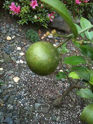 Lemon_3